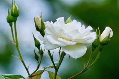 roos etherische olie